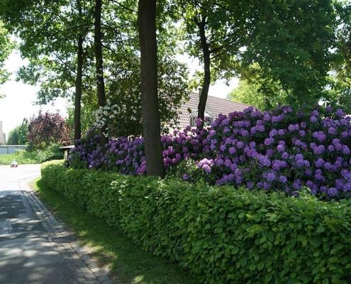 Unsere Rhododendronhecke